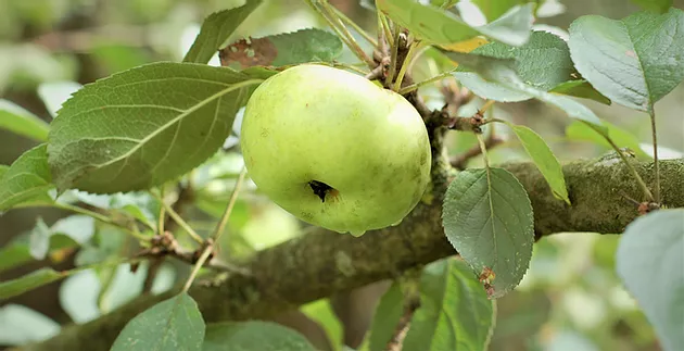 Pro-Kaki lädt ein zu einem Schnittkurs für Obstbäume